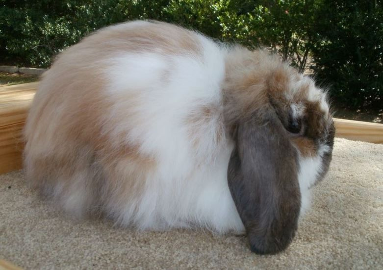 American Fuzzy Lop Rabbit Care Sheet