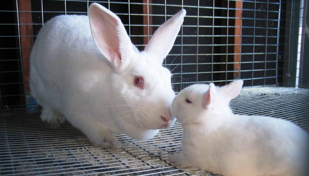 American Rabbit Care Sheet