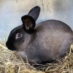 American Sable Rabbit Care Sheet