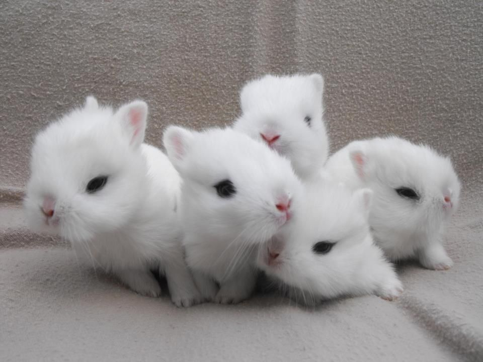 Dwarf Hotot Rabbit Care Sheet