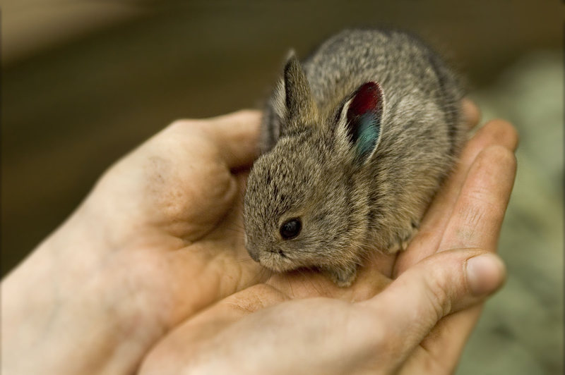 Columbia Basin Pygmy Rabbit Care Sheet
