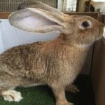 Continental Giant Rabbit Care Sheet