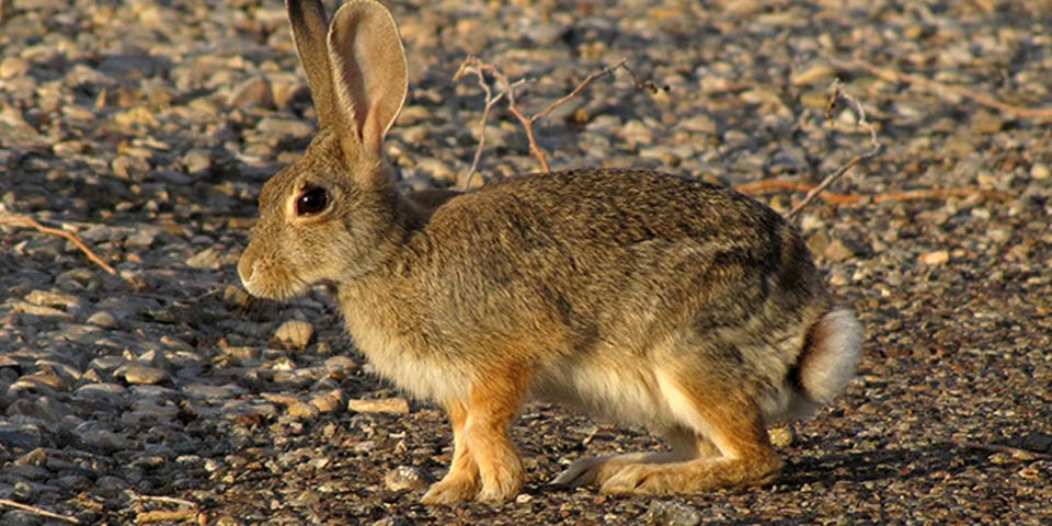 Desert Cottontail Rabbit Care Sheet