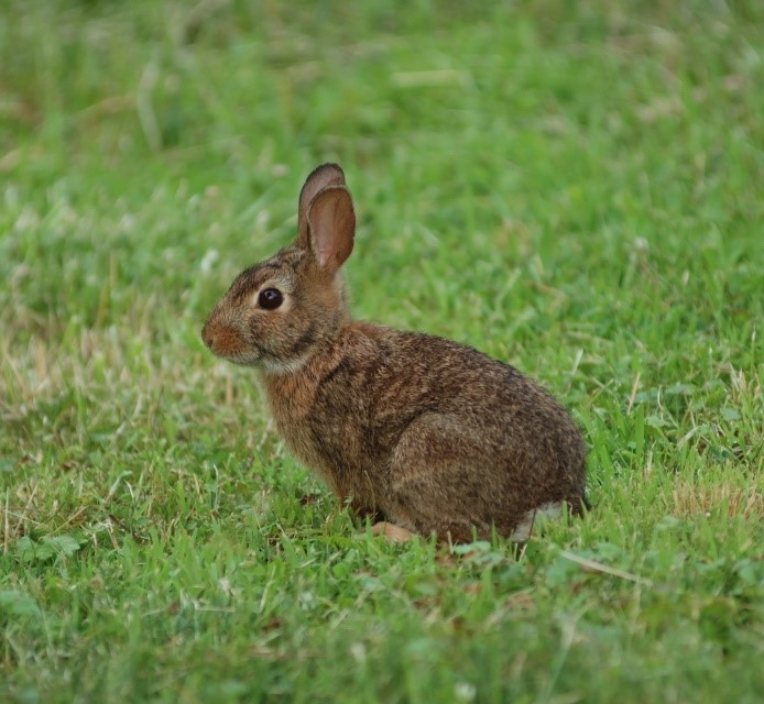 Eastern Cottontail Rabbit Care Sheet