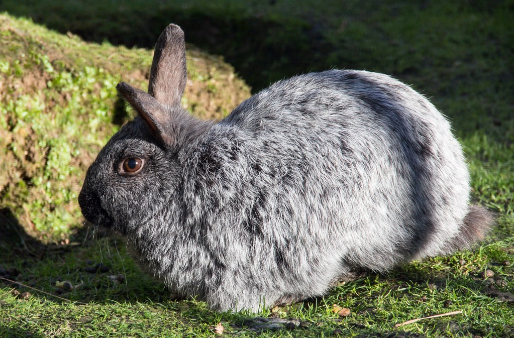 Enderby Island Rabbit Care Sheet