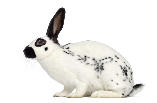 English Spot Rabbit Care Sheet