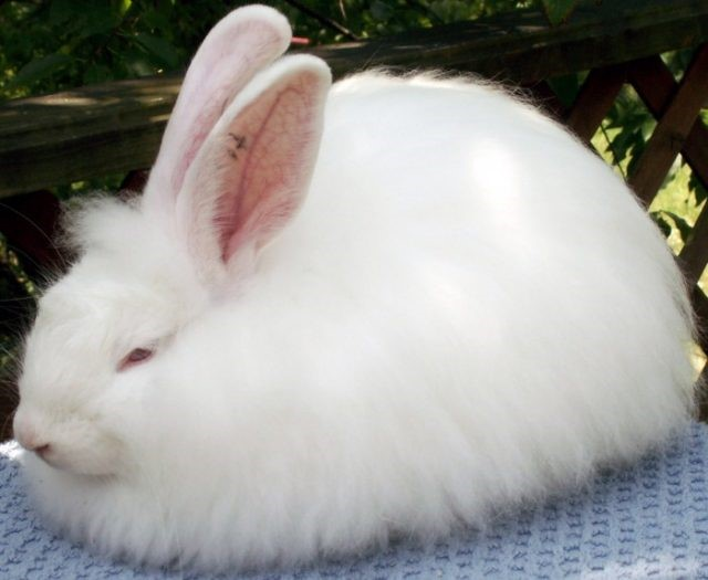 French Angora Rabbit Care Sheet