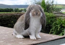 French Lop Rabbit Care Sheet