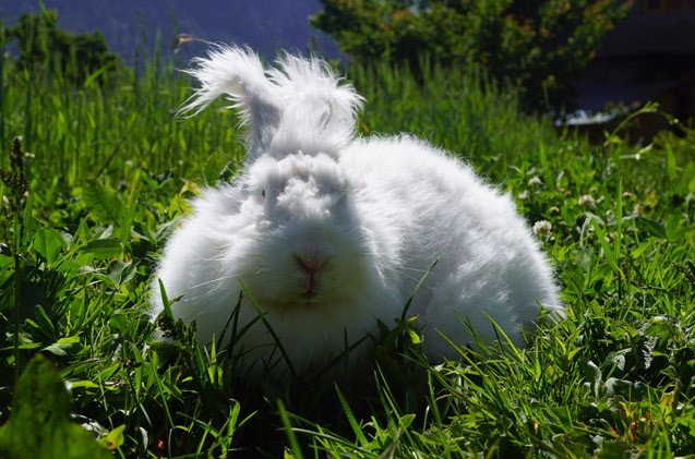German Angora Rabbit Care Sheet