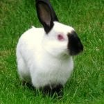 Himalayan Rabbit Care Sheet