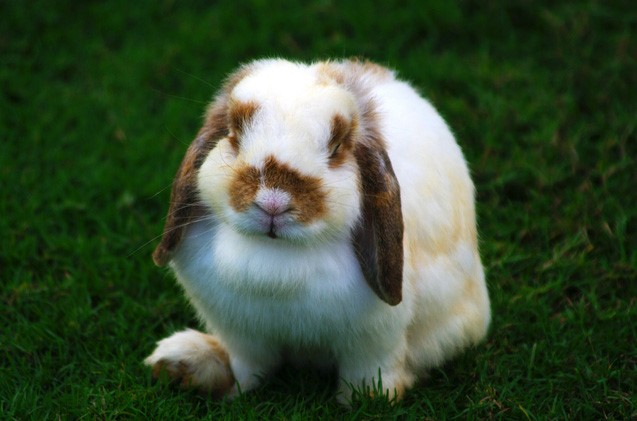 Holland Lop Rabbit Care Sheet
