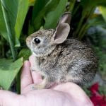 Robust Cottontail Rabbit Care Sheet