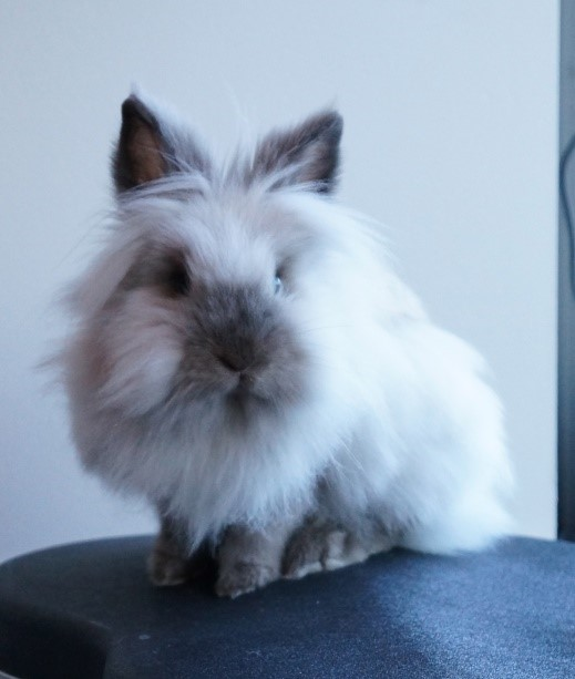 Lionhead Rabbit Care Sheet