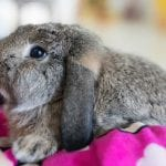 Meissner Lop Rabbit Care Sheet