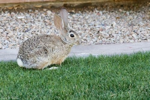 Mexican Cottontail Rabbit Care Sheet