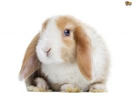 Mini Lop Rabbit Care Sheet
