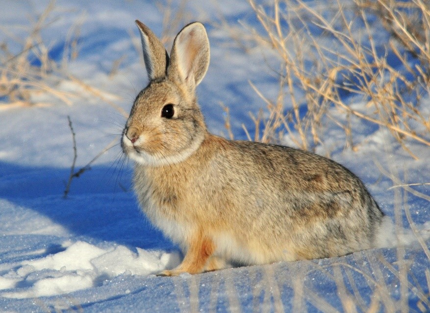 Mountain Cottontail Rabbit Care Sheet