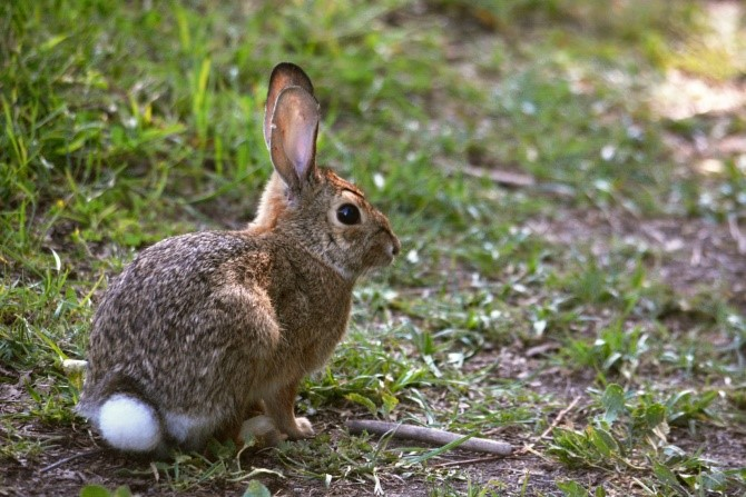New England Cottontail Rabbit Care Sheet