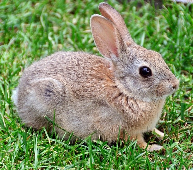 Oryctolagus Rabbit Care Sheet