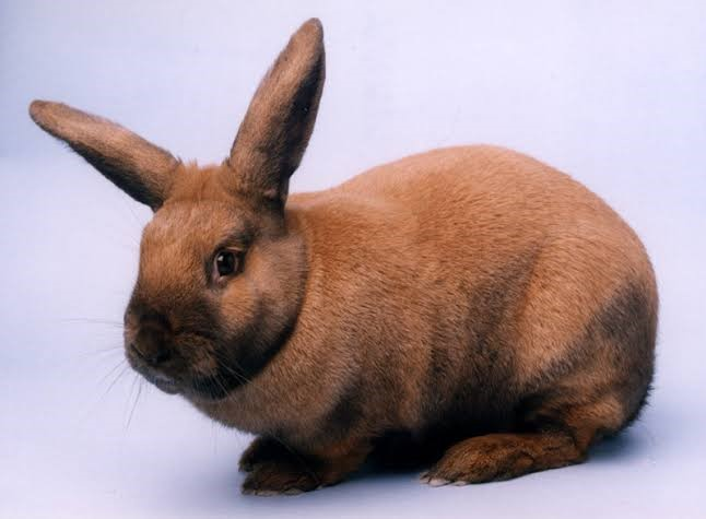 Thuringer Rabbit Care Sheet
