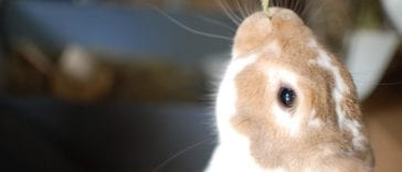 What Does The Yellowish Poop of Your Rabbit Indicate?