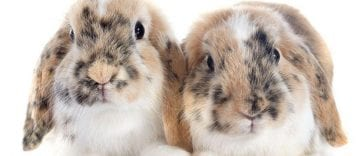 What Causes the Green Pee of Your Rabbits?