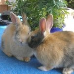 When Should You Stop Breeding Rabbits