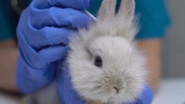 Ear Flushing Tips For Your Rabbits