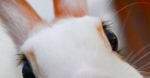 How to Get Rid of Ingrown Eyelashes on Rabbits