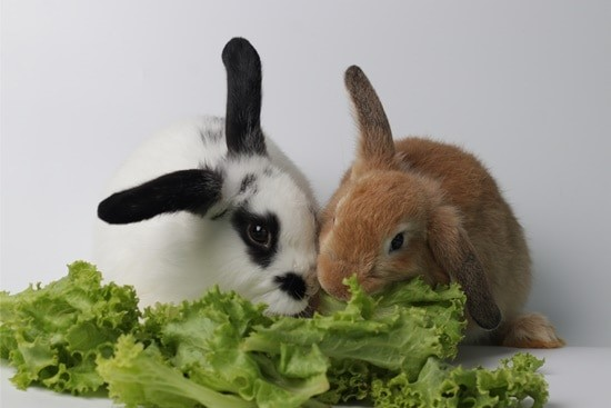 Is Lettuce Safe for Rabbits to Eat?