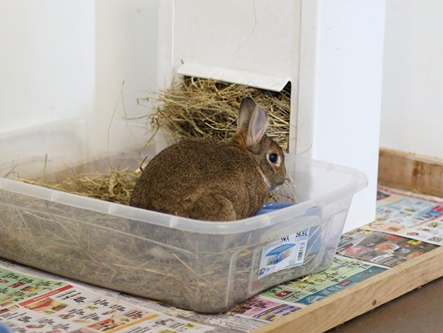 How to Litter Train Your Rabbit