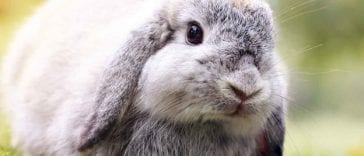 Fun Facts About Lop-Eared Bunnies