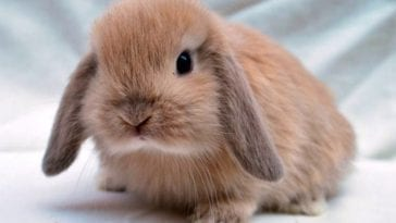 Mini Lop Bunny: Facts and Caring Tips