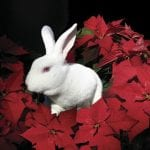 Is Poinsettia Poisonous for Rabbits to Eat