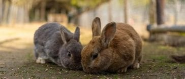 Rabbit Snuffles: Causes