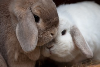 What Should Owners Do When Their Rabbits Are Mating?