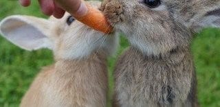 Why Rabbits Love Eating Carrots?