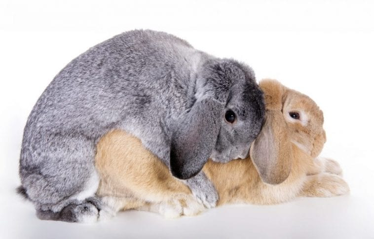 What You Need to Do When Your Rabbit Is On Its Gestation Period?