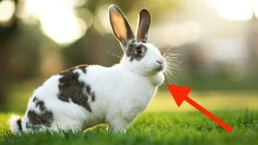 What The Lump Under Your Rabbit's Skin Indicate?