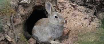 Whys and Hows of Rabbit Burrows