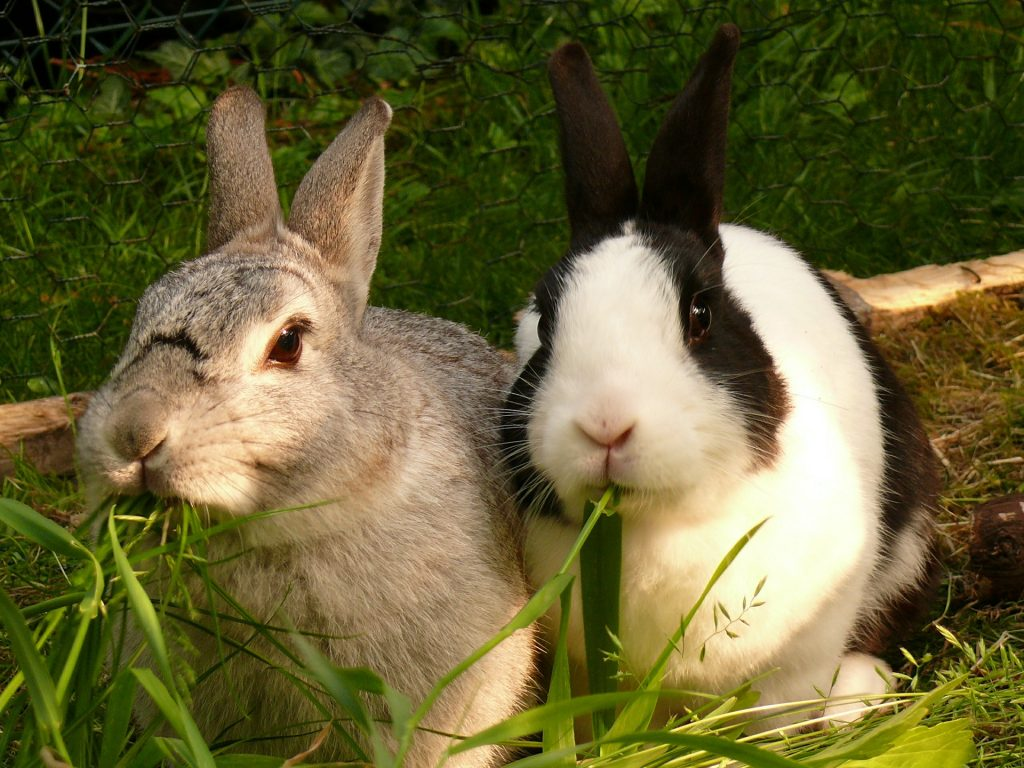 Description: Why are my rabbits fighting? - Vet Help Direct