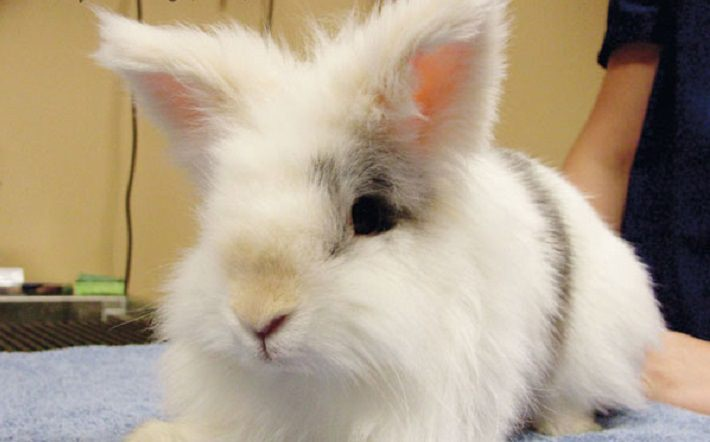 Description: Image result for Encephalitozoon Cuniculi in Rabbits: Prevention and Treatment