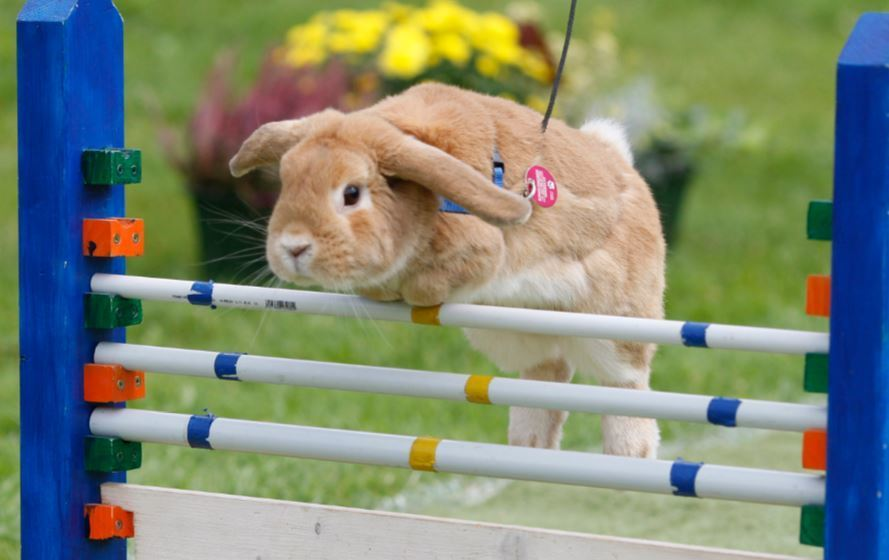 Description: Image result for How High Can Rabbits Jump