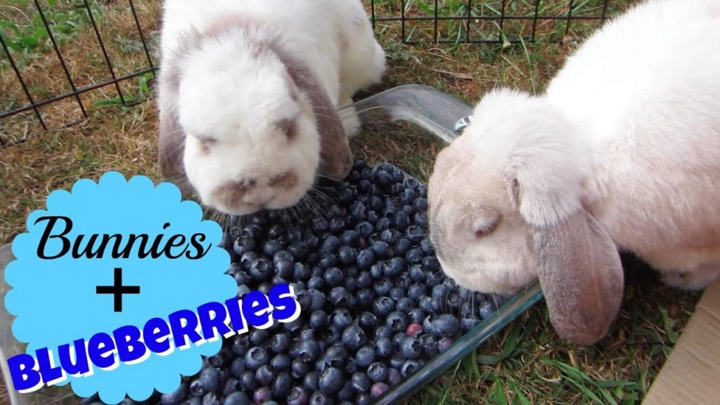 Description: Image result for Can Bunnies Eat Blueberries?