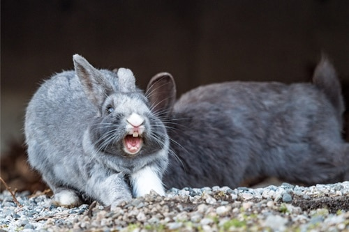 Description: Image result for What To Do When Your Rabbit Is Screaming